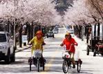 [포토]인제 막바지 벚꽃 만개